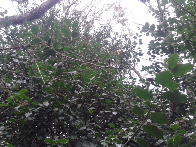 Gli Agrifogli giganti delle Madonie – DOMENICA 14 DICEMBRE